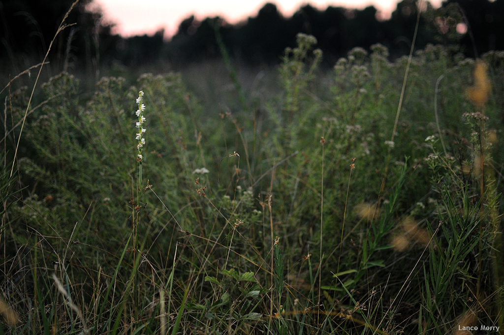 Spiranthes vernalis is the exception as it blooms in June and can easily reach 3 feet tall